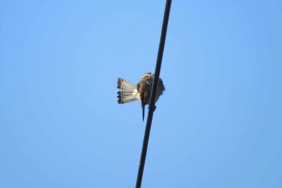 チョウゲンボウ羽繕い