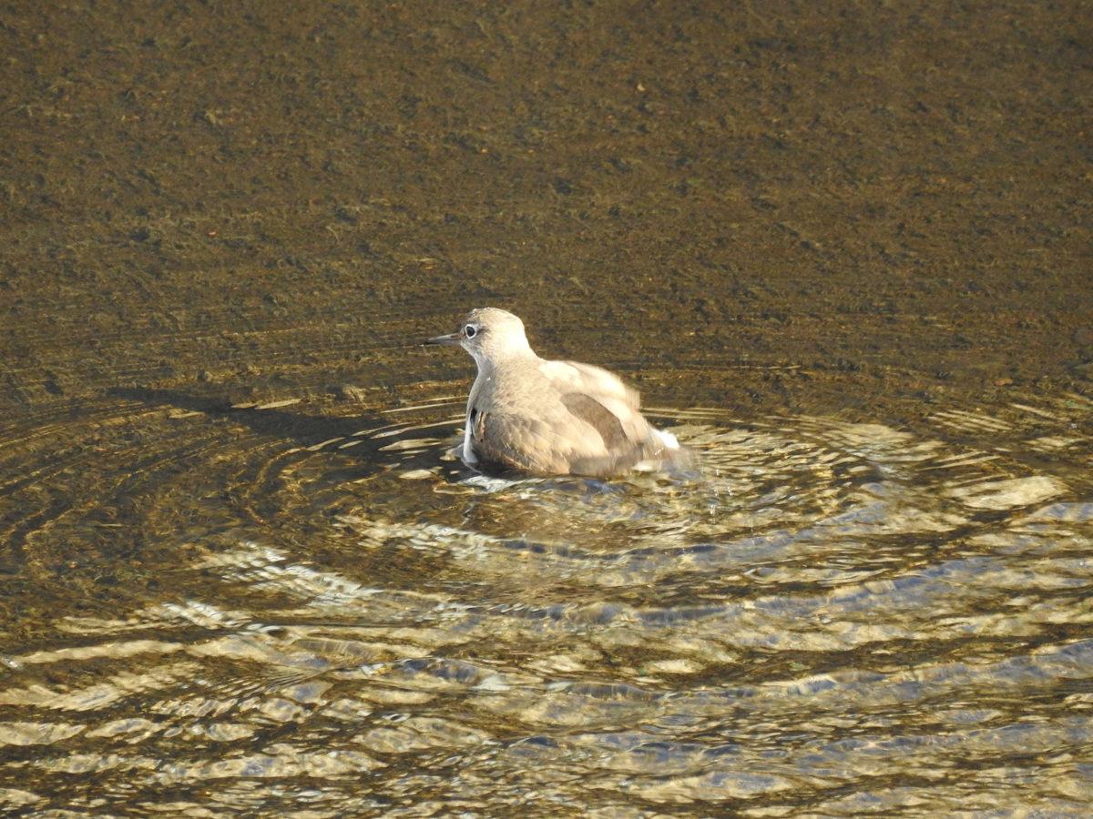 イソシギ水浴び