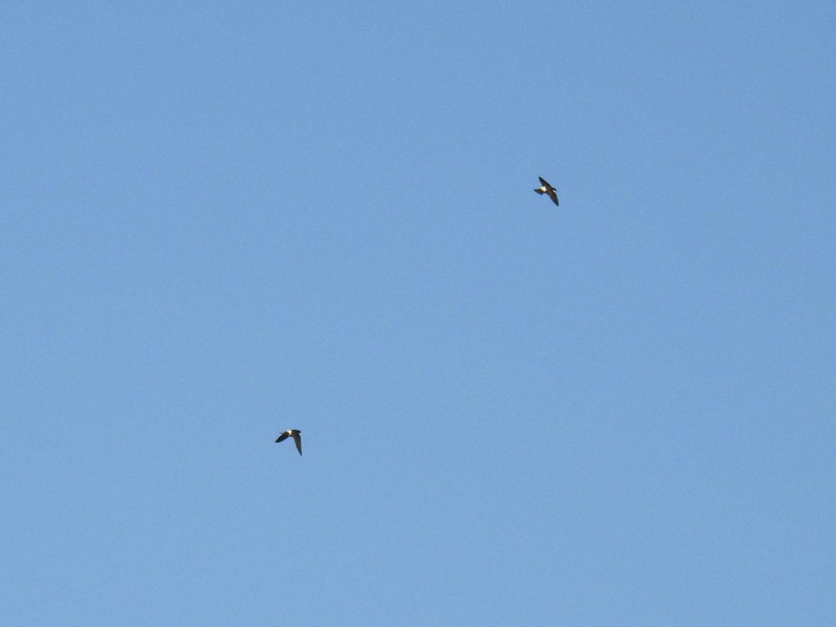 イワツバメ2羽