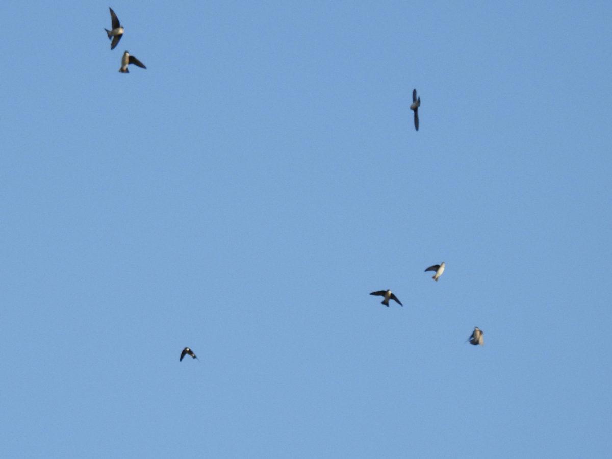 イワツバメ7羽