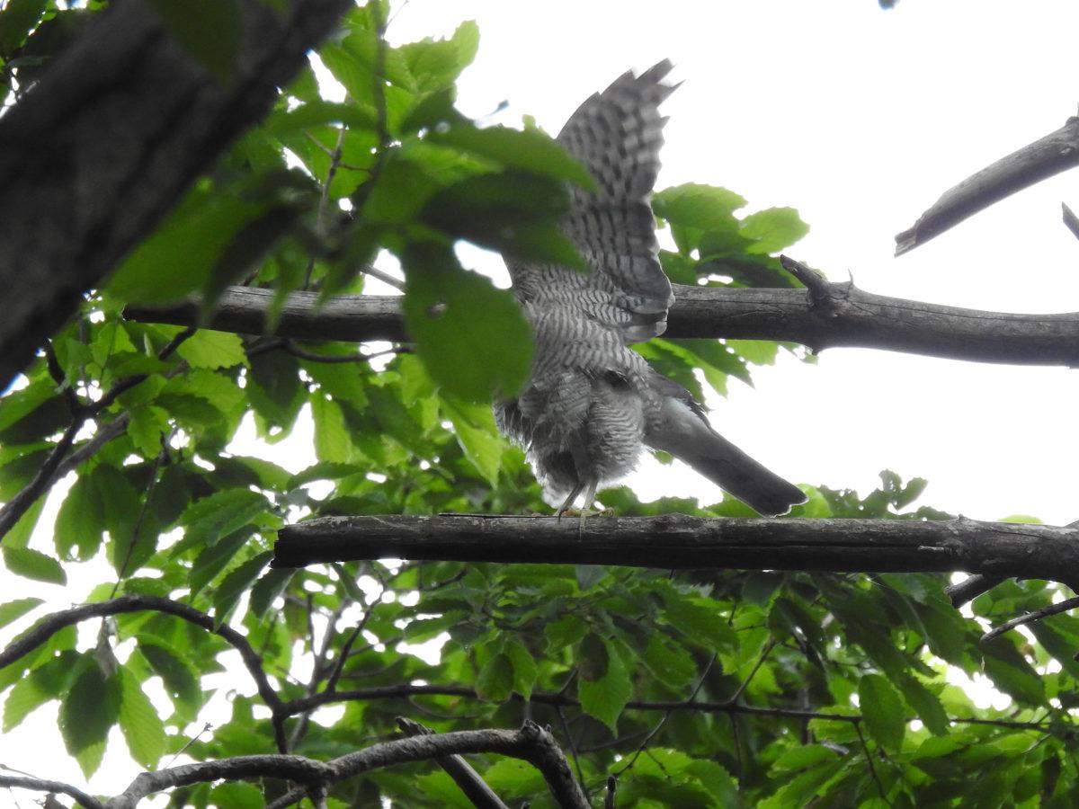 ツミ羽を広げる