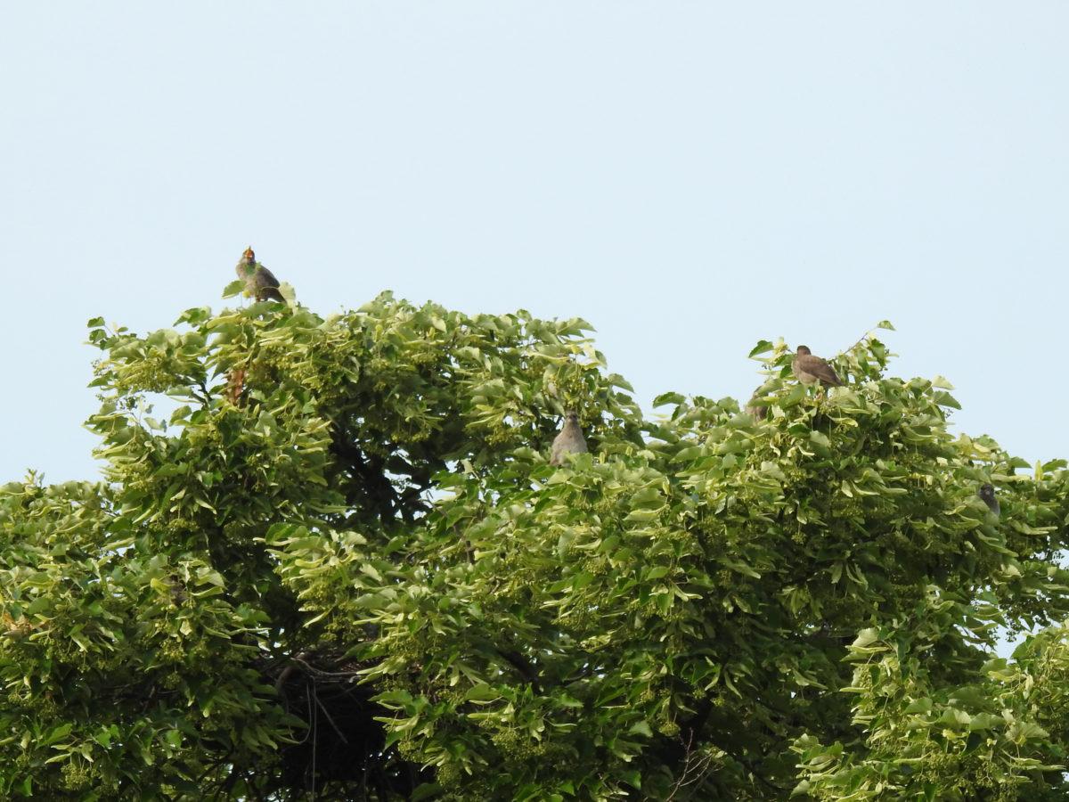 ムクドリ幼鳥
