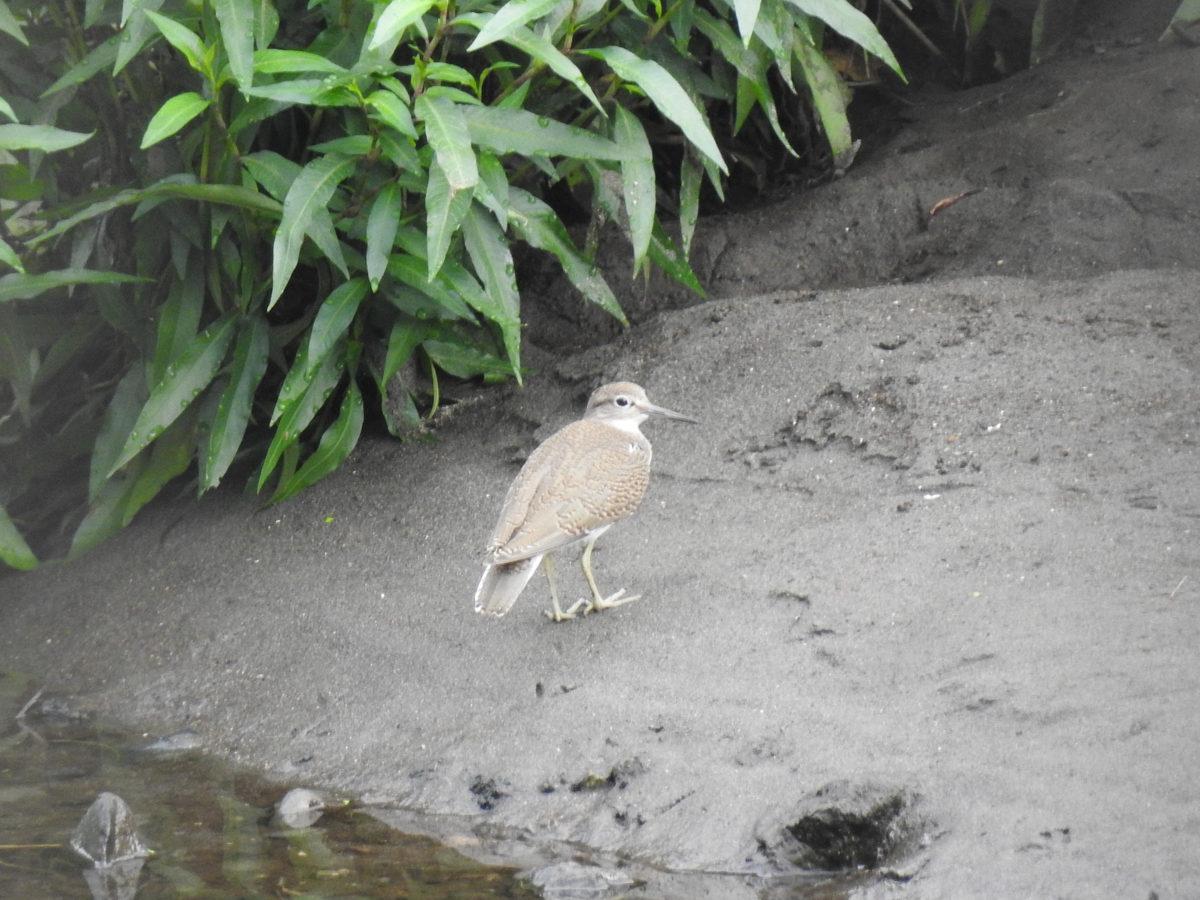 イソシギ幼鳥?