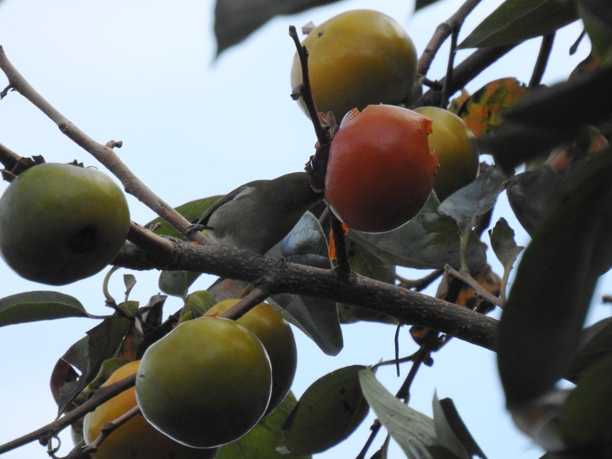 メジロと柿