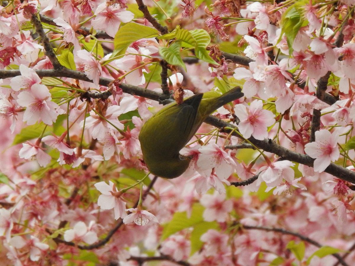 メジロ花の蜜を吸う