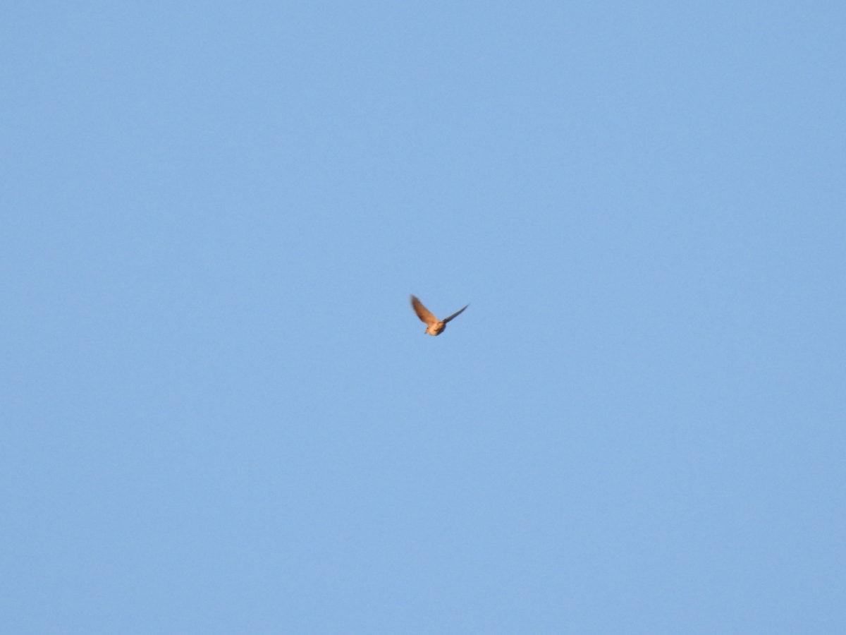 ヒバリ上空