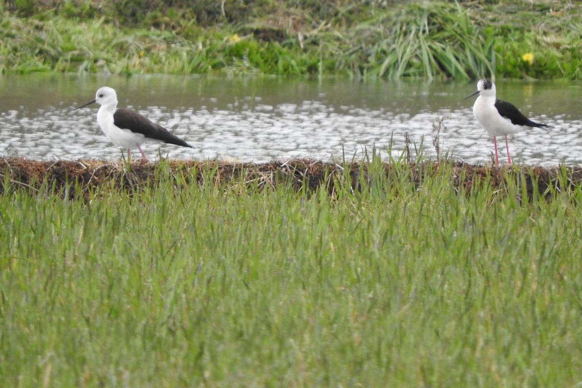 セイタカシギ 2羽
