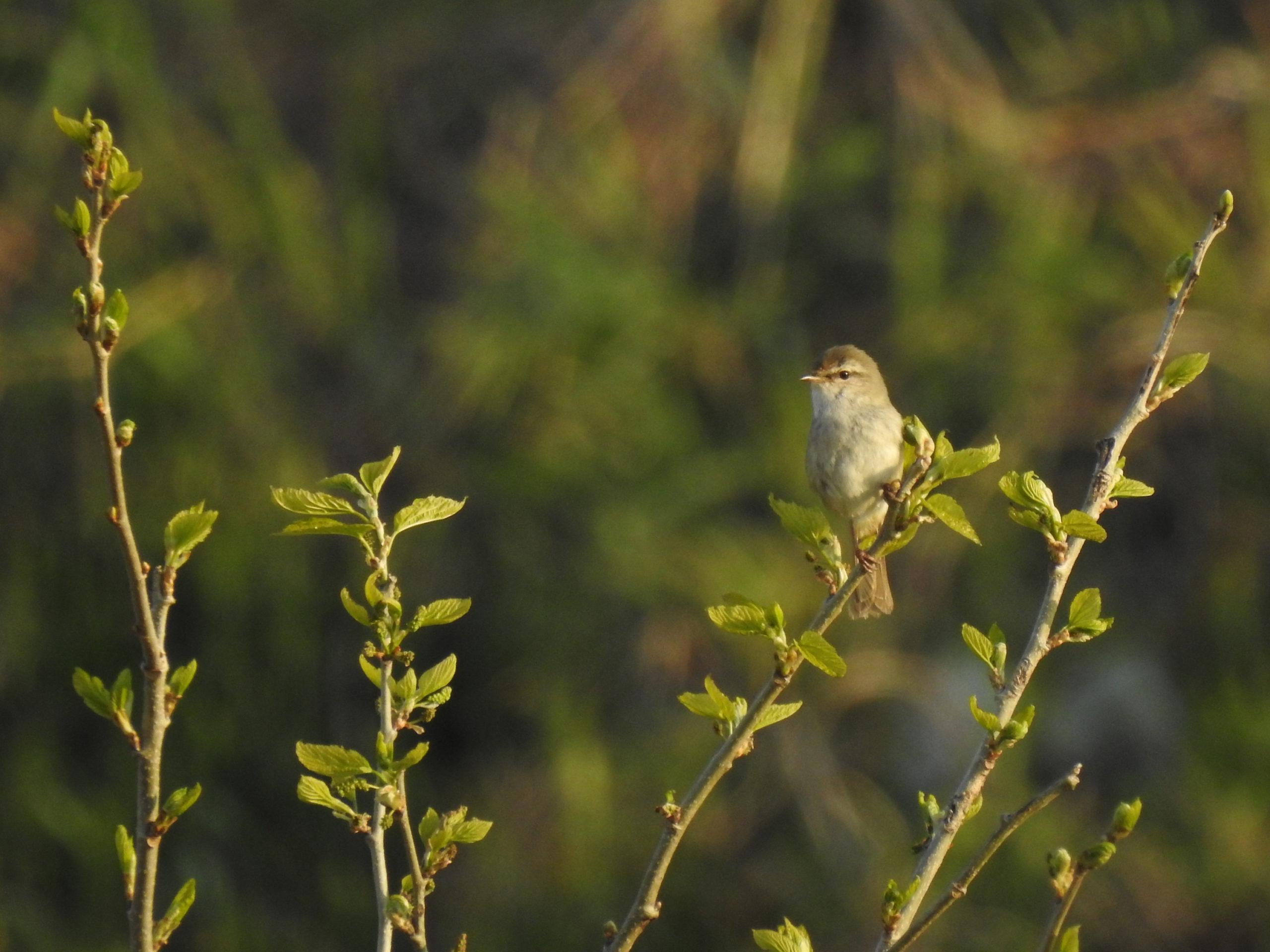 ホーホケキョ と 鳴く 鳥