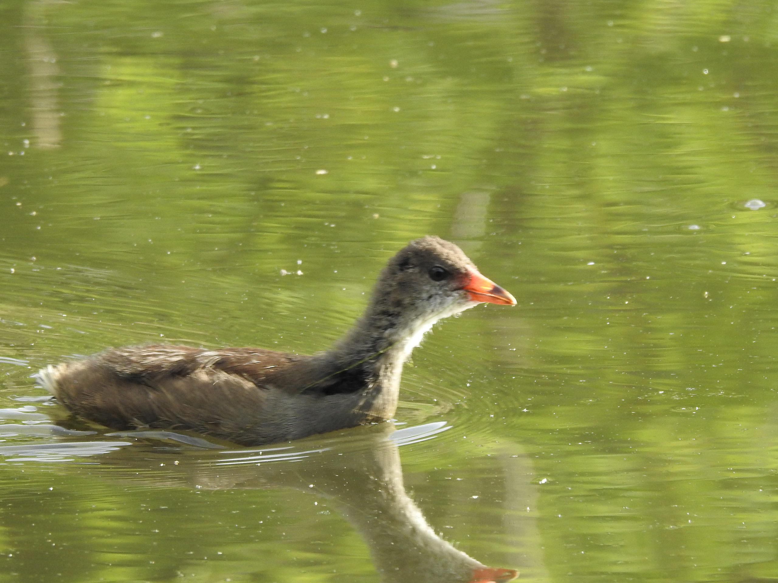 バン幼鳥泳ぐ
