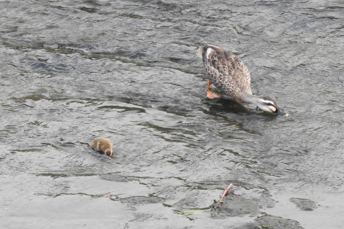 カルガモ雛1羽