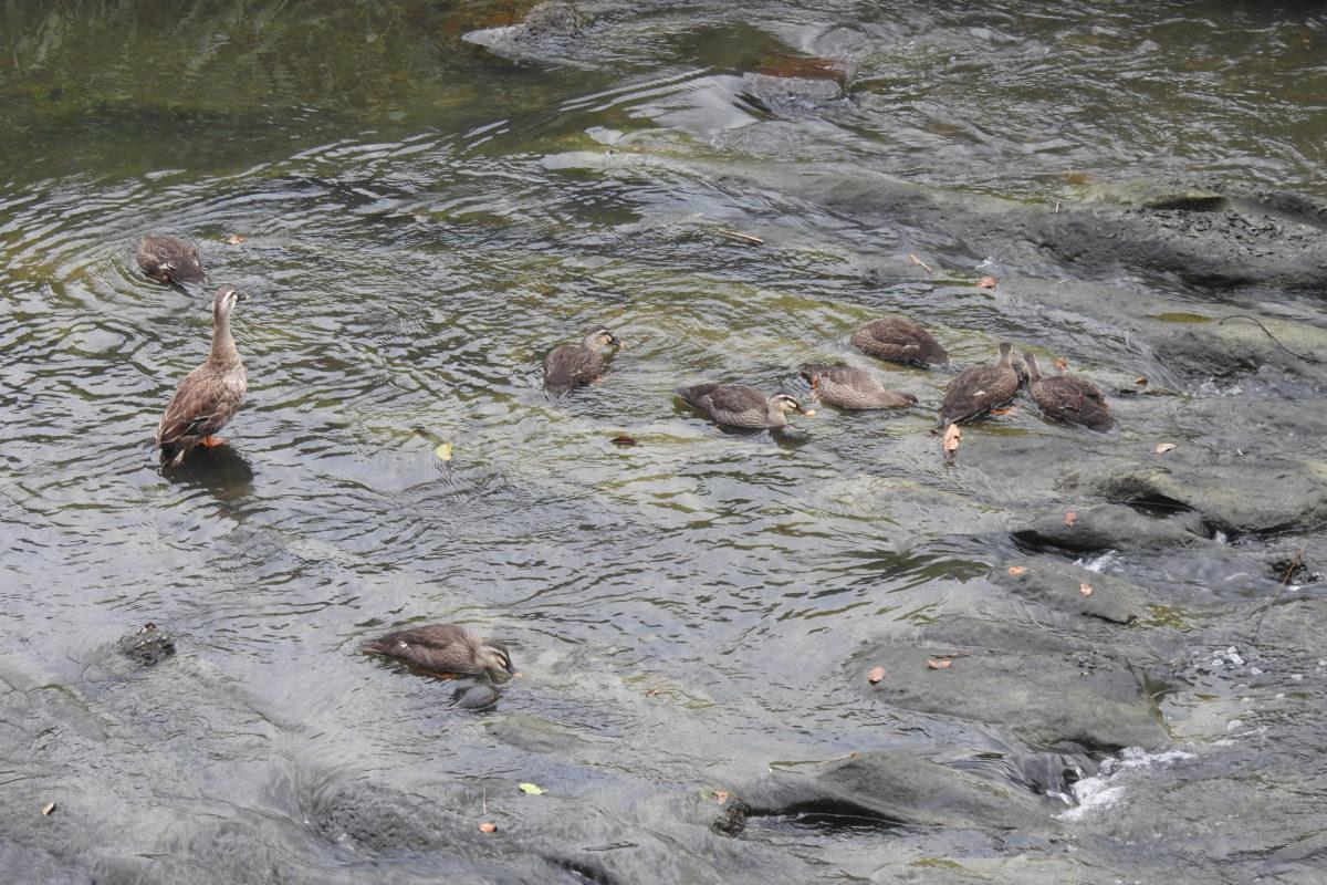 カルガモ幼鳥8羽