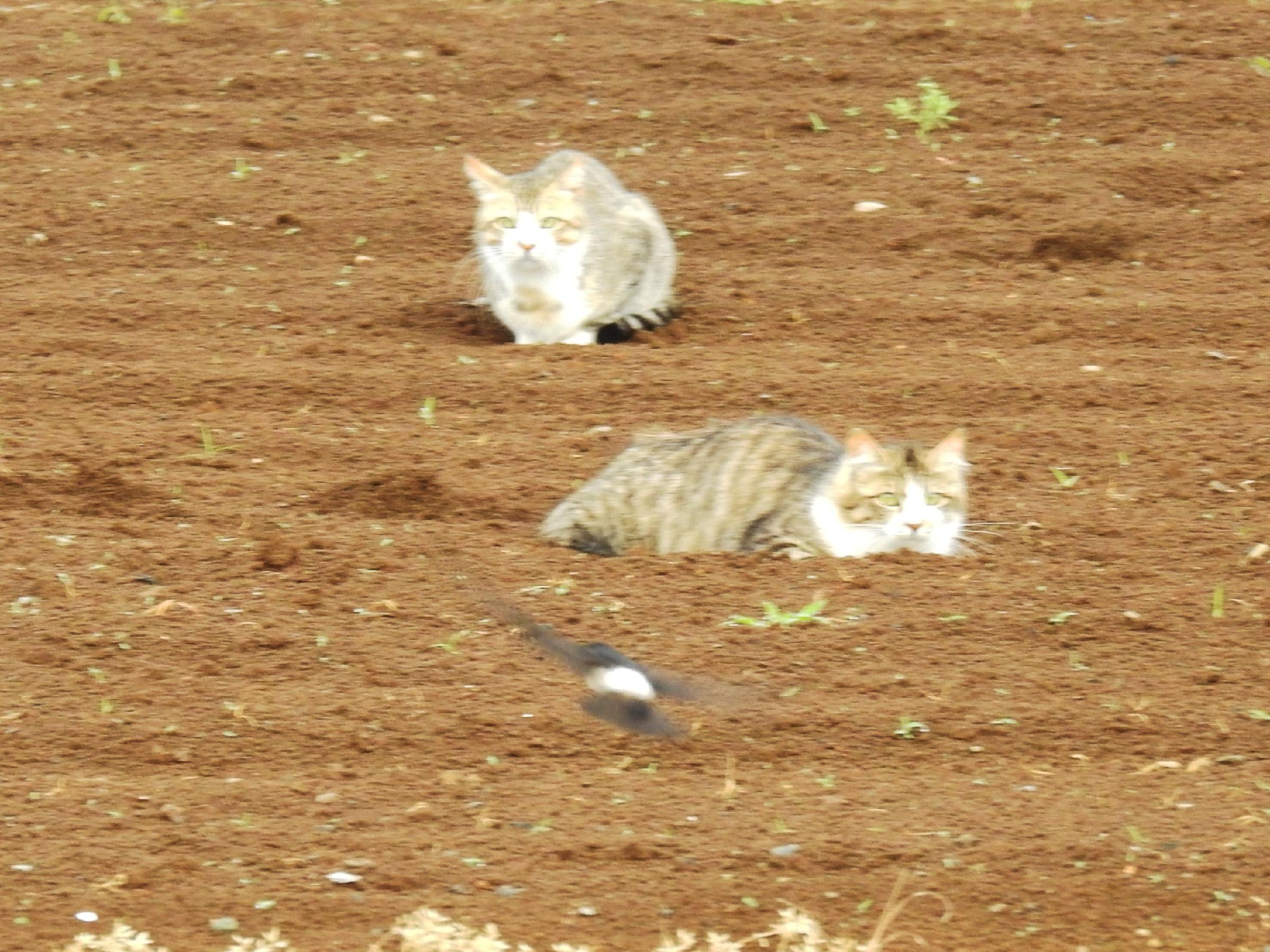イワツバメと猫