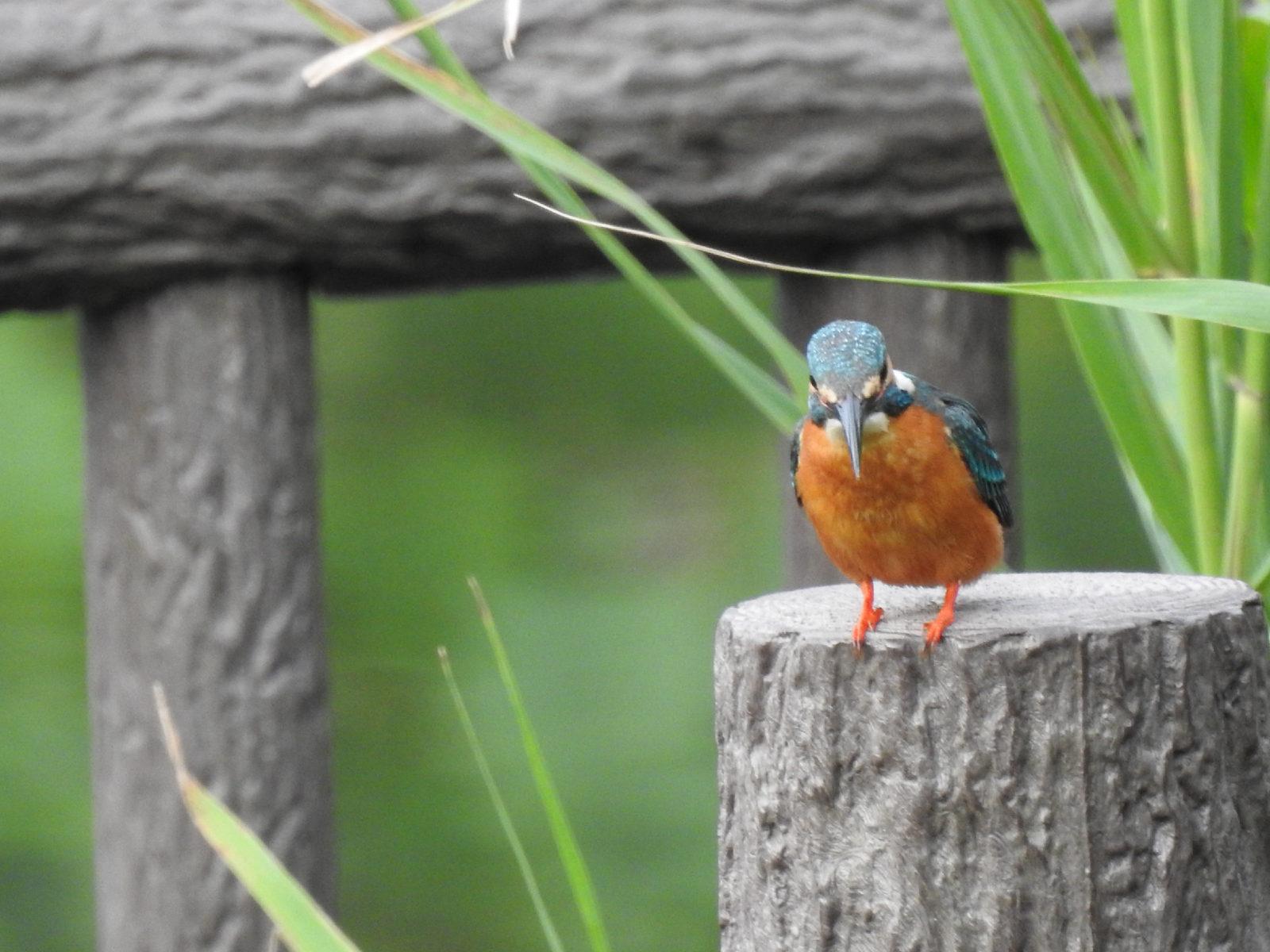 カワセミ成鳥