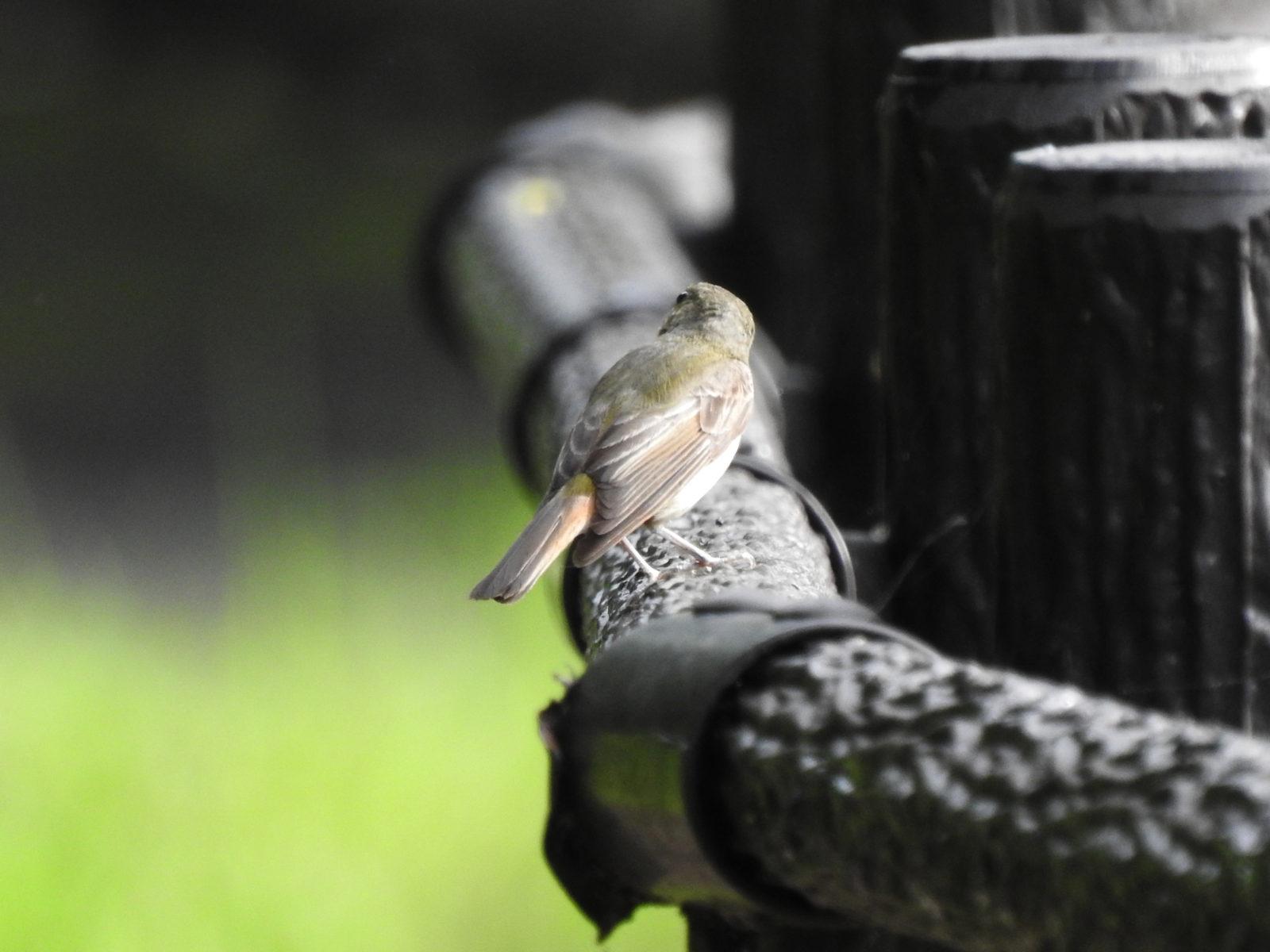 キビタキ雌後ろ向き