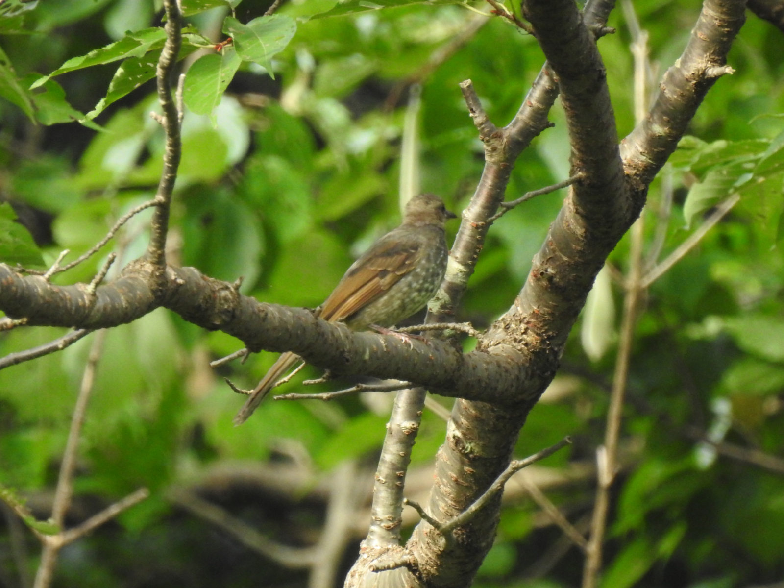 ヒヨドリ幼鳥