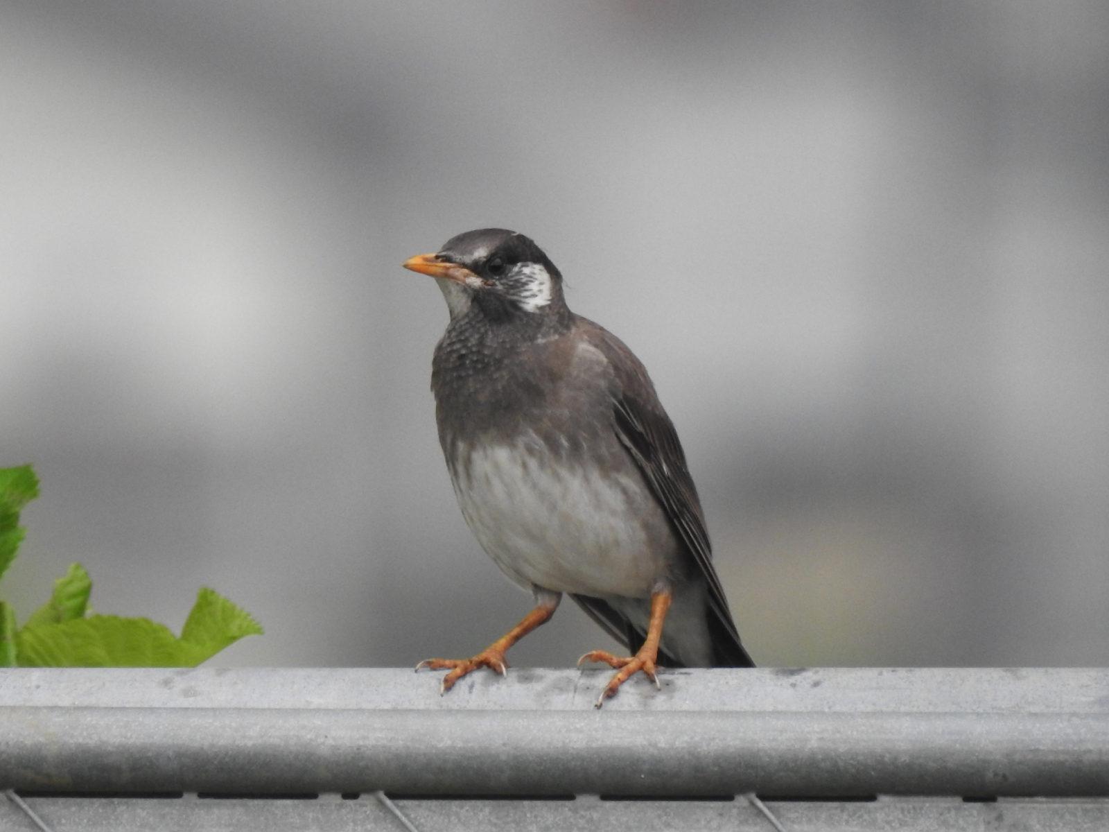ムクドリ若鳥?