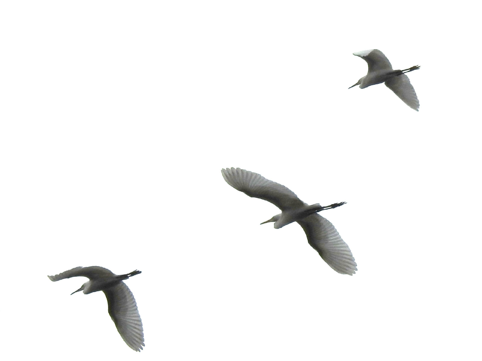 サギ類飛翔