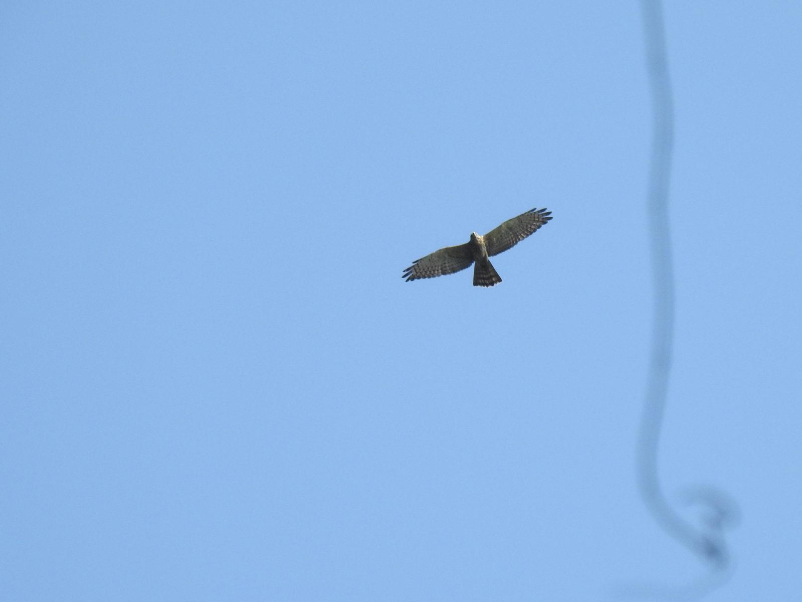 サシバ幼鳥