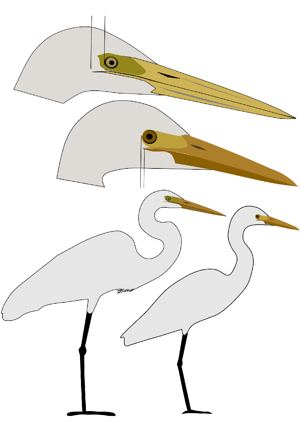 Large_Intermediate_Egrets
