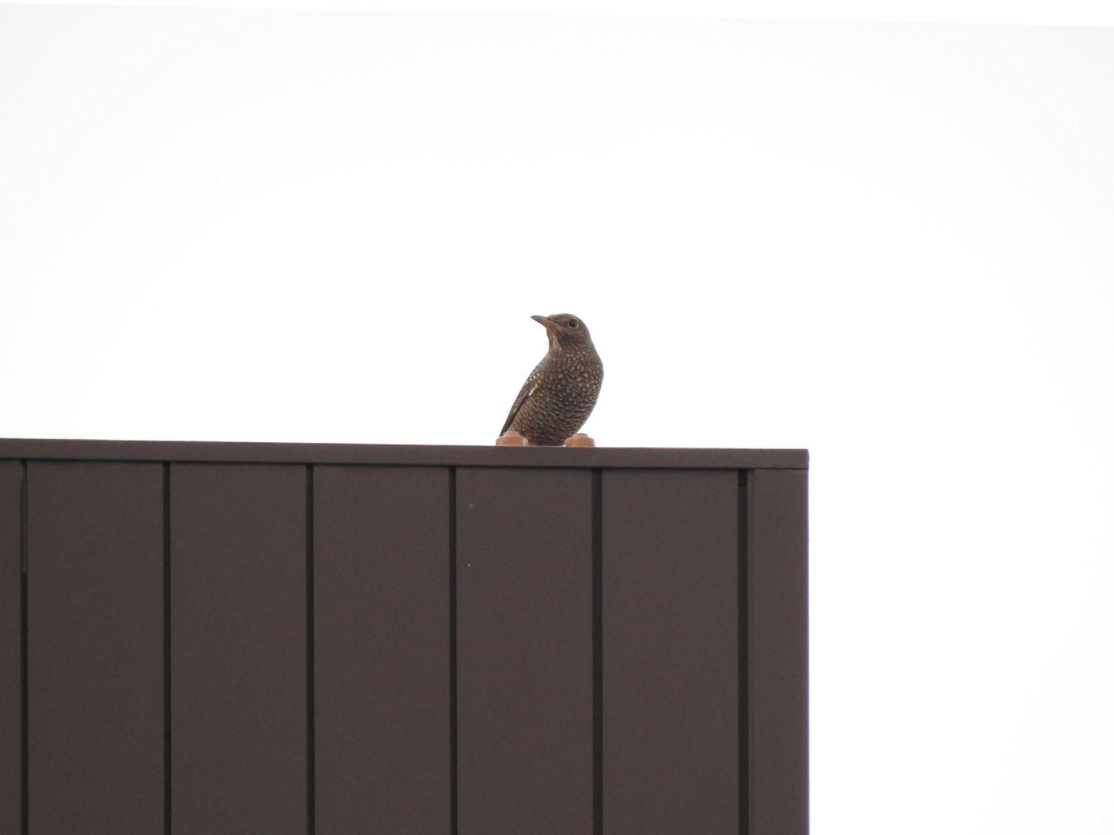 イソヒヨドリ雌