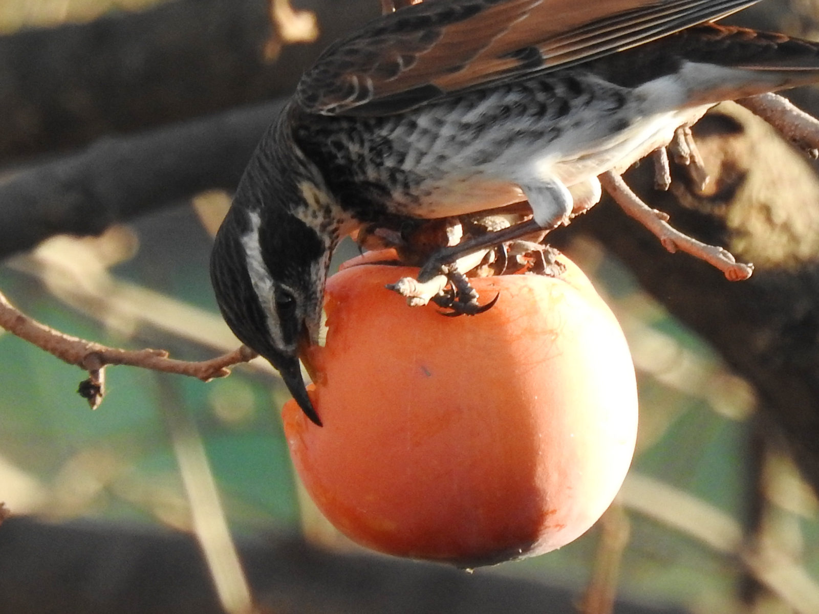 柿をついばむツグミ