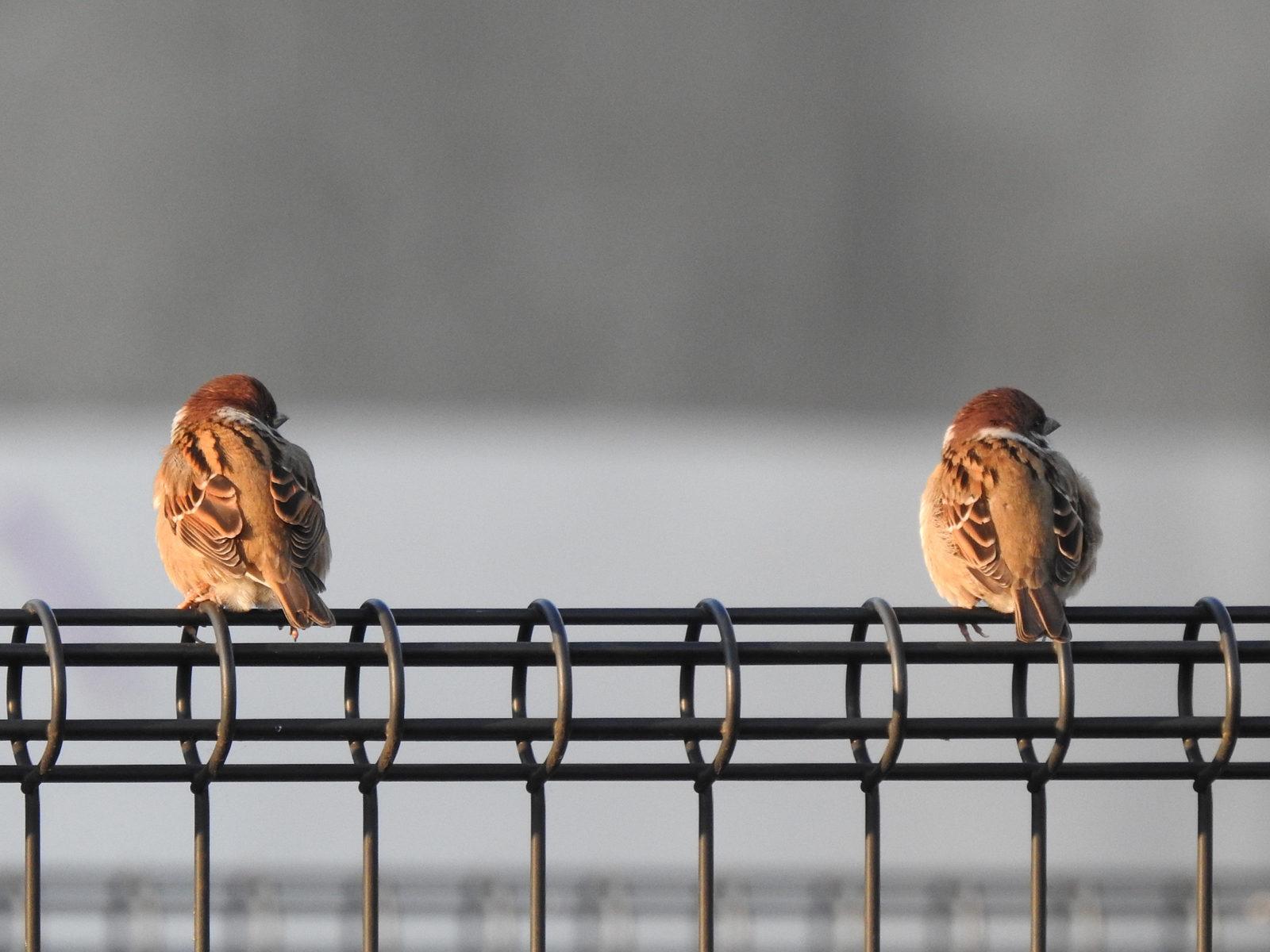 スズメ二羽右を見る