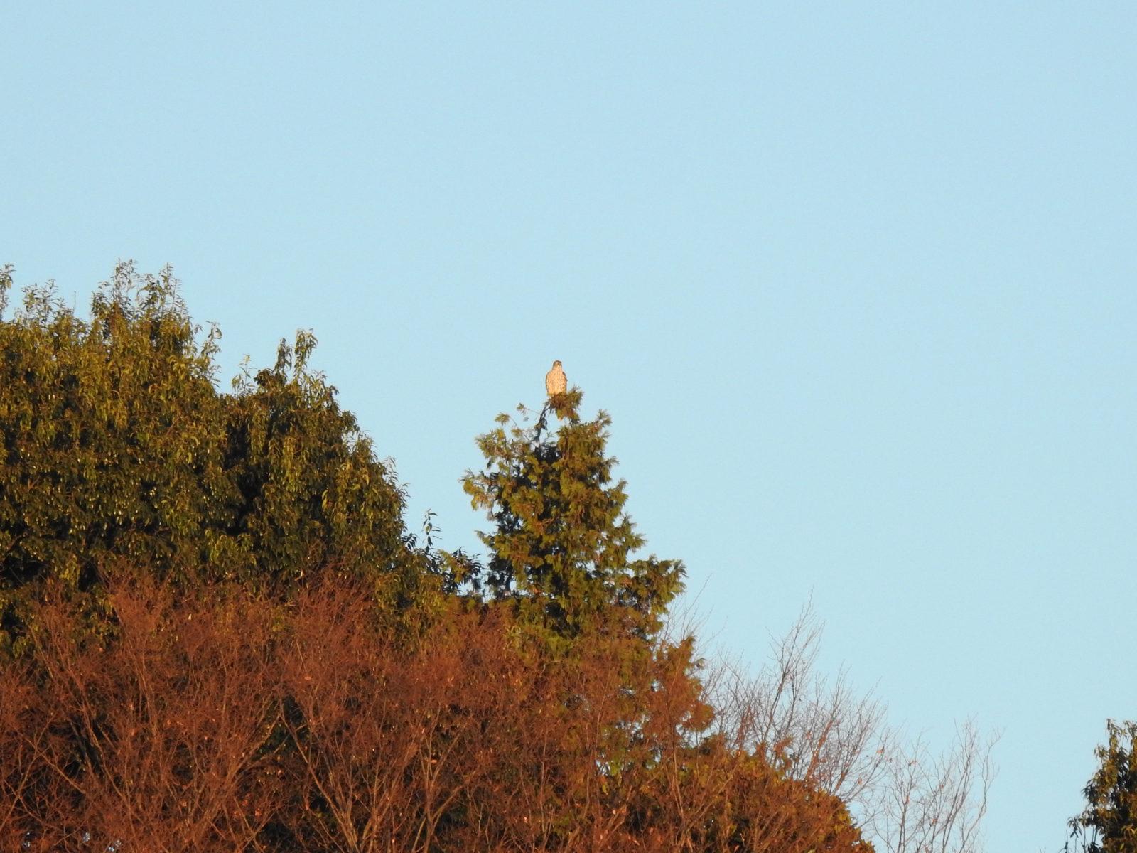 オオタカ幼鳥ロング