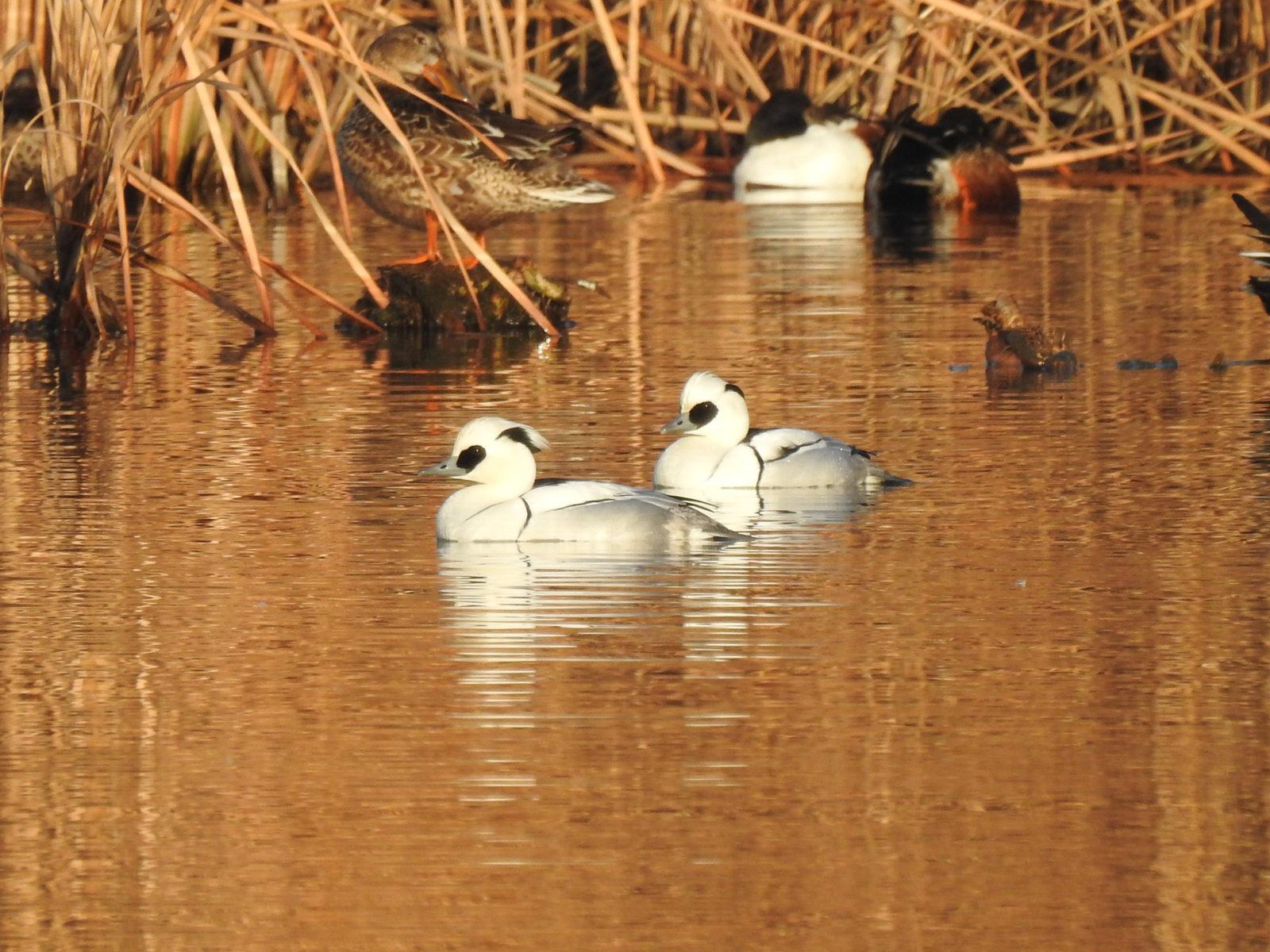 ミコアイサ雄左向き2羽