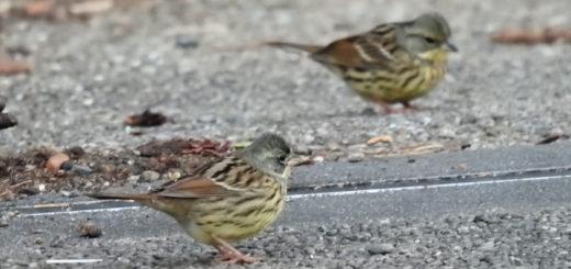 アオジ小道にて数羽