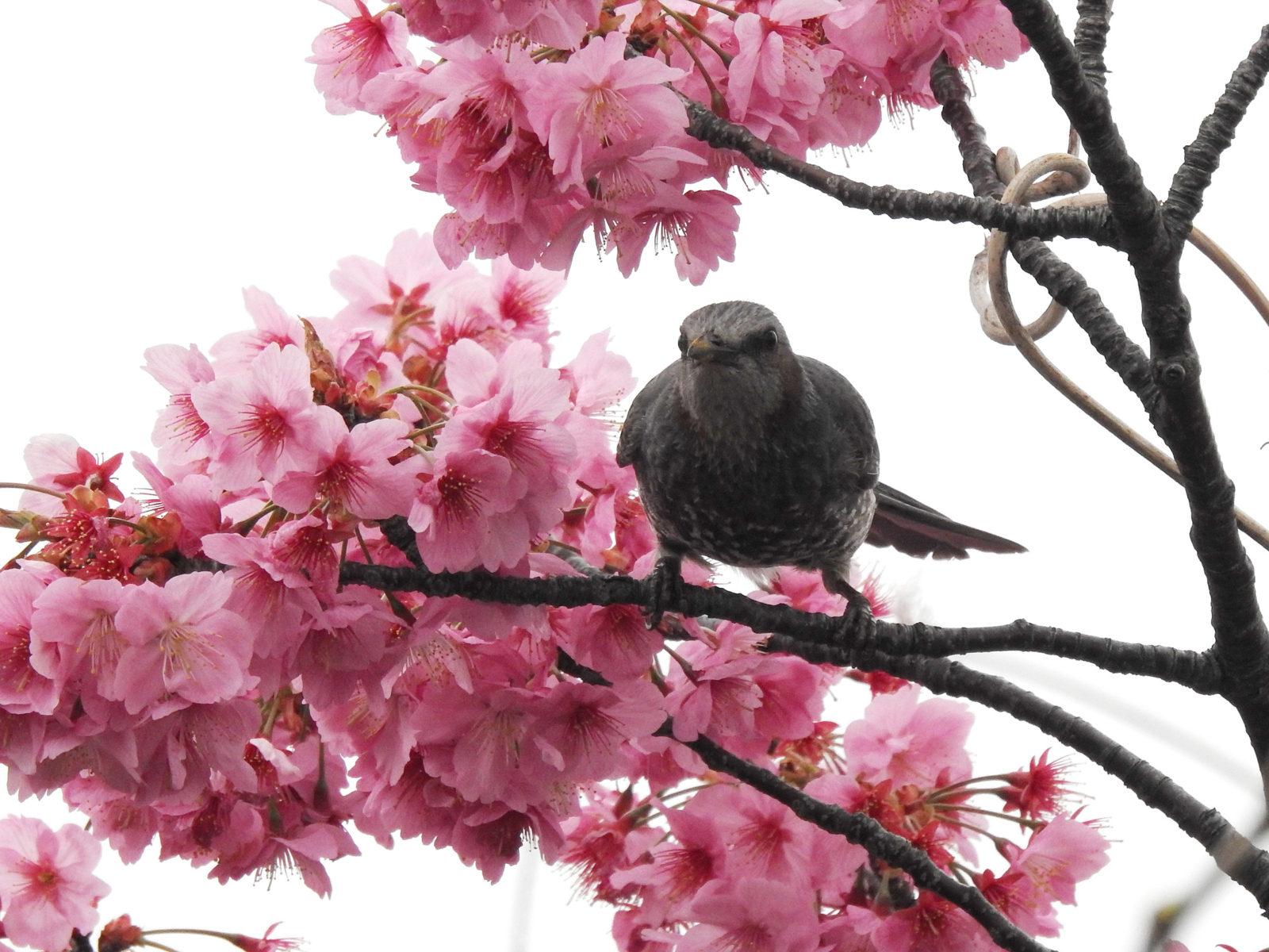 ヒヨドリ正面桜