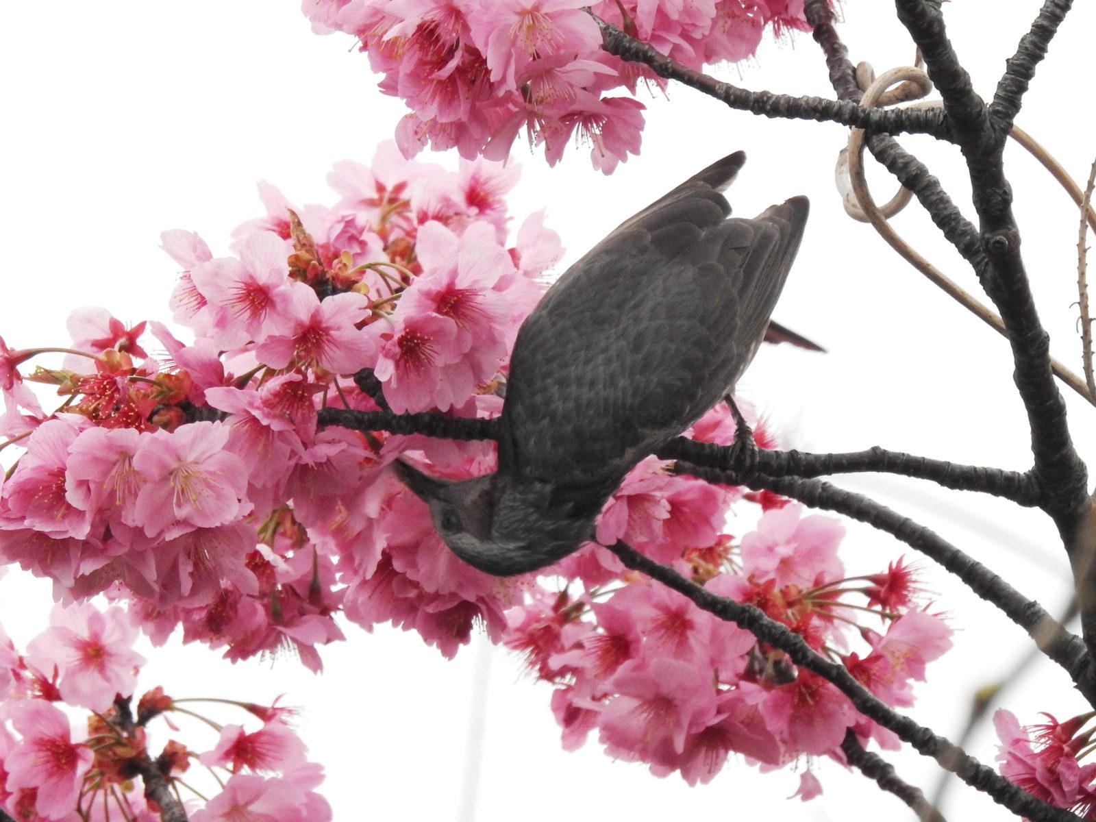 ヒヨドリ桜の蜜を吸う