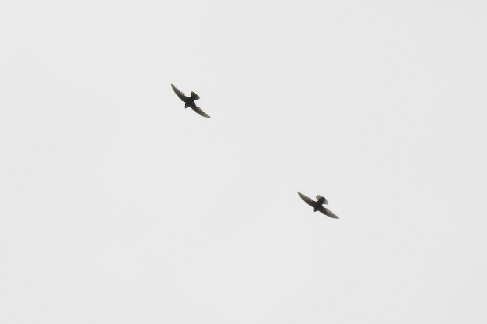 ヒメアマツバメ2羽