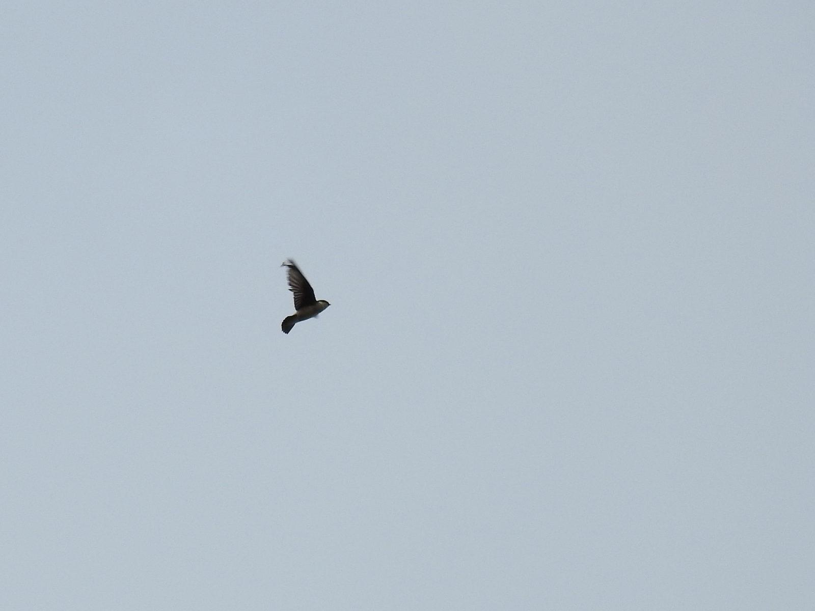 イワツバメ飛び