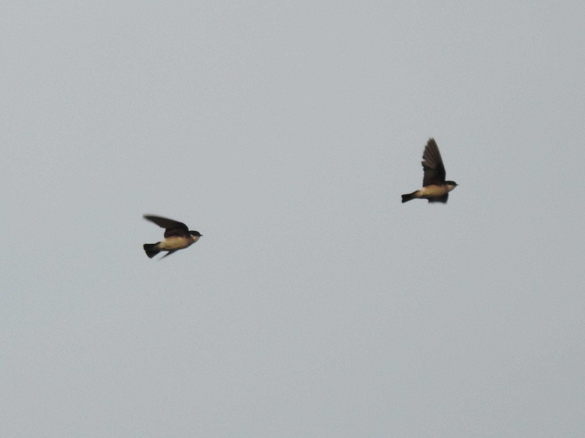 イワツバメ飛び2羽