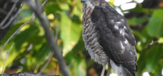 ツミ幼鳥左向き