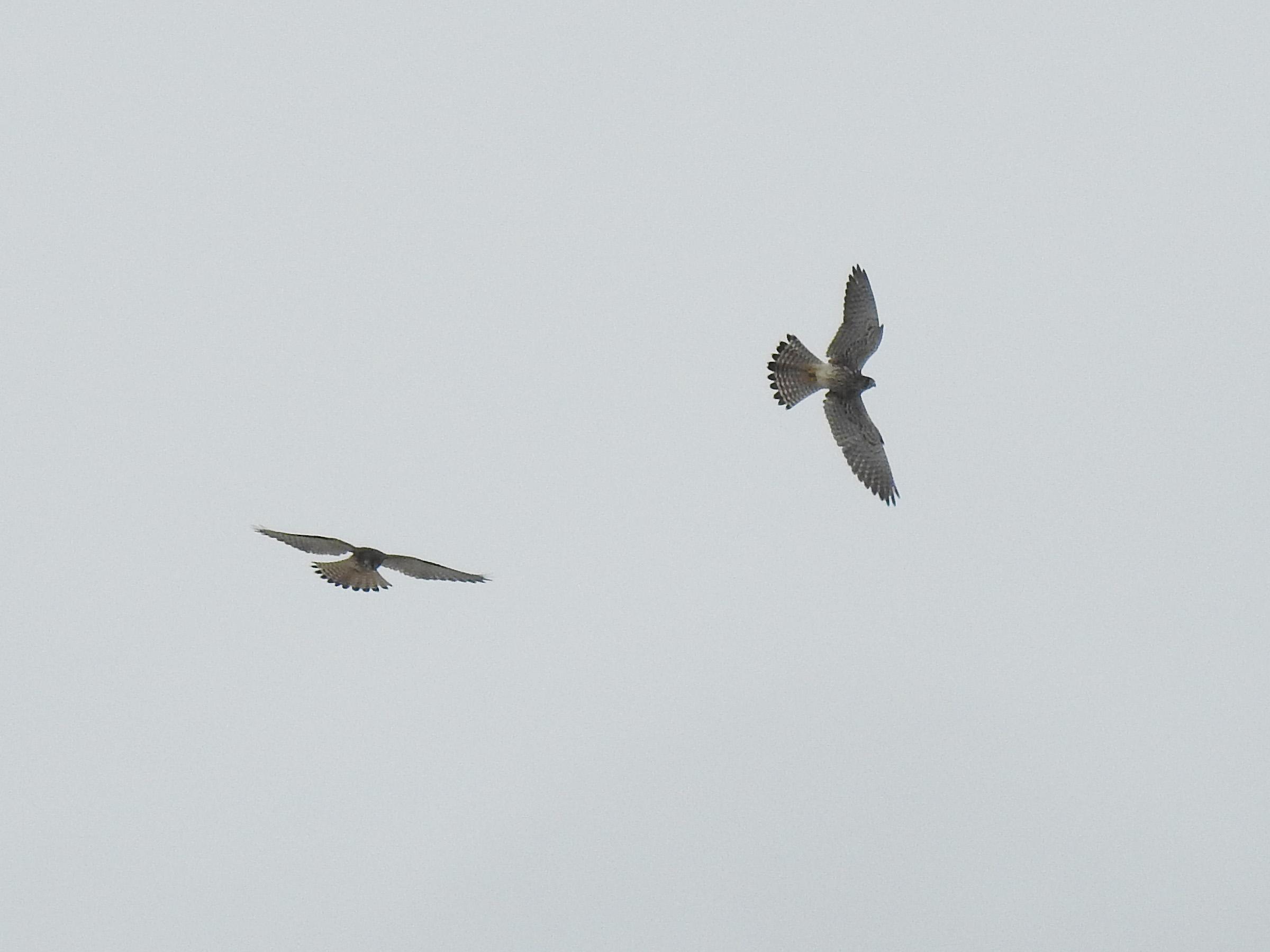 チョウゲンボウ2羽