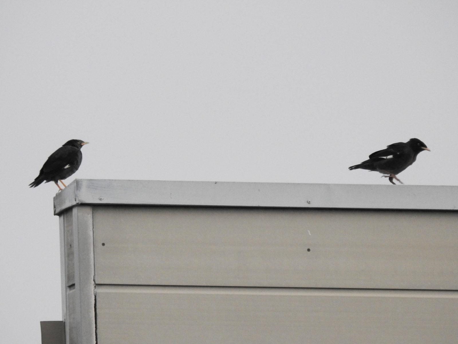 ハッカチョウ2羽